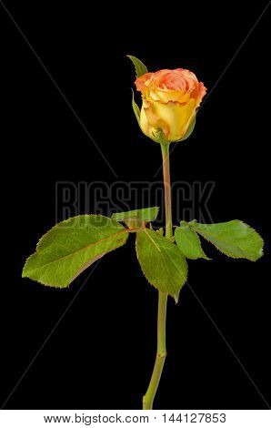 orange rose isolated on black