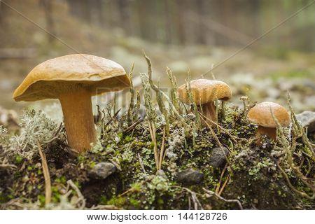 Mushroom suillus bovinus growing in the forest in august