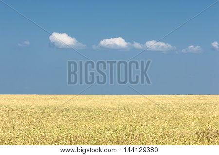 Ripe Yellow Wheat With Stalks Of Grain