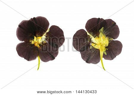 Pressed and dried delicate purple colored flowers nasturtium (tropaeolum). Isolated on white background. For use in scrapbooking floristry (oshibana) or herbarium.