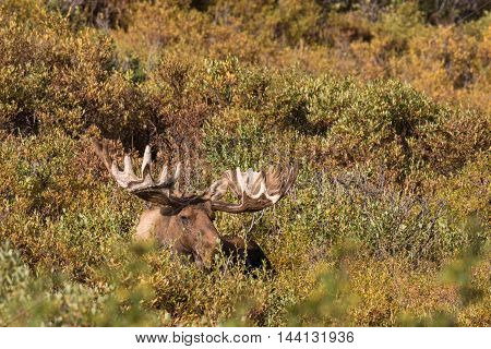 an alaska yukon bull moose in velvet bedded on the tundra