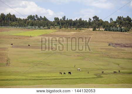 Farms and animals in Ethiopia