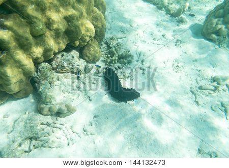 sea cucumber underwater sea and white sand