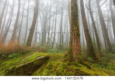 Tall trees cover with moss and other vegetation along the trail in Alishan National Park Taiwan on a wet and foggy morning