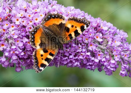 Small Tortoiseshell butterfly (Aglais urticae) feeding on Buddleia flower (also known as Butterfly bush orange eye and summer lilac)