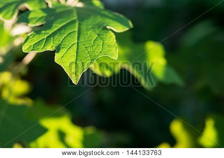 Texture of thai eggplant green leaf plant