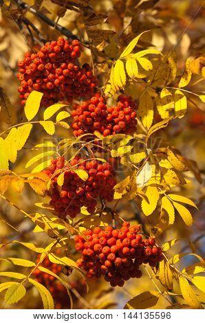 Rowan. Rowanberry. Rowan-tree. Sorb. Wild Ash