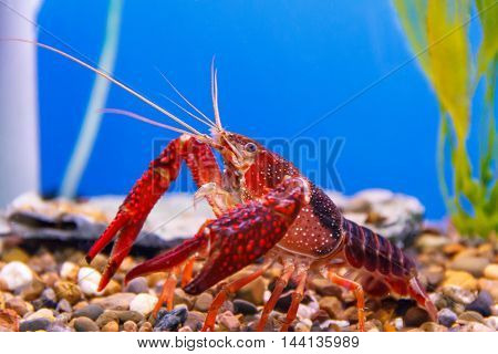 Photo of red crab with big claw