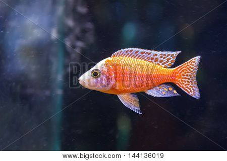 one red aulonocara fish swimming in aquarium tank