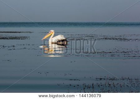 Pelicane wildlife bird  on a water sea background