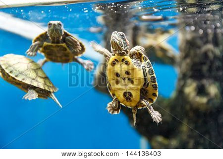 Several turtles swimming in the aquarium tank
