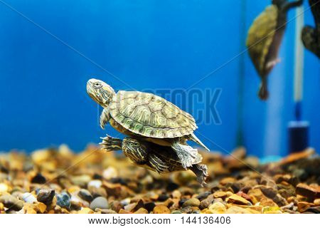 Two turtles swimming in aquarium one over another