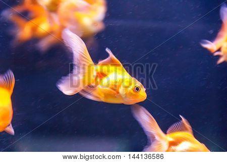 Photo of orange parrot fish swimming in aquarium