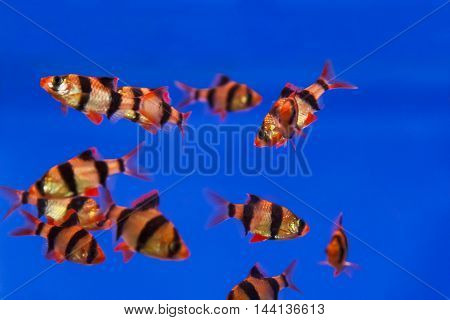 Group of striped fishes swimming in aquarium tank