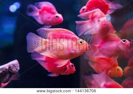 Group of orange red parrot cichlid fishes on blue background