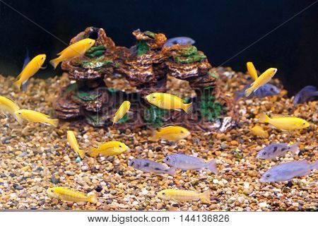 large amount of small yellow and grey fishes