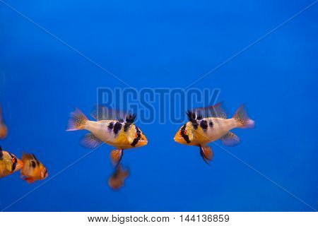 Two fighters fishes with black stripes swimming in aquarium
