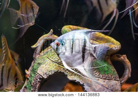 Triangle shaped gray scalare on background of an amphora swimming in aquarium