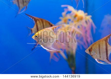 Several triangle shaped scalare fishes on blue background
