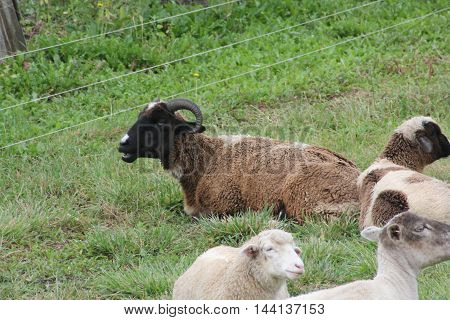 Sheep and goats lying in the grass in a small enclosed pasture