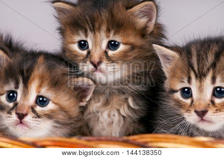 Cute siberian kittens in a wicker basket over grey background