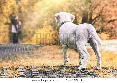 young cute small labrador retriever dog puppy sees some people in autumn