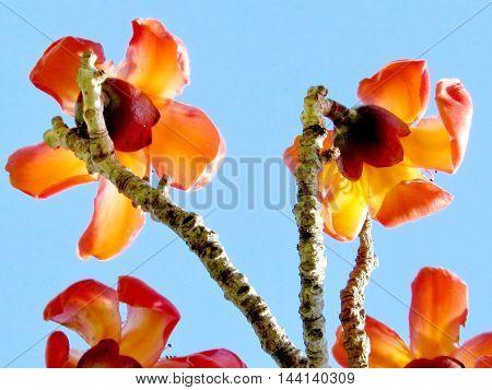 The flowers of Bombax Ceiba in Edith Wolfson Park in Ramat Gan Israel