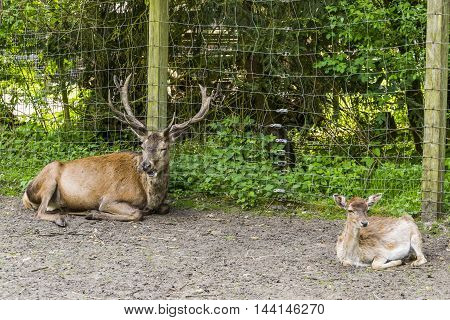 Like father, like son. Buck and baby buck in captivity.