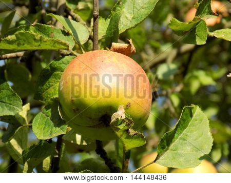Apple tree in fruit garden during sunny day