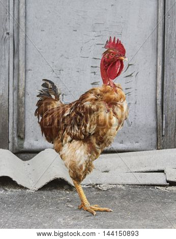 brown rooster with rarely black feathers and a long red naked neck