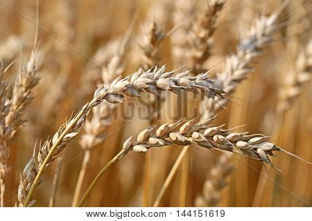 Close up of two ears of ripe wheat growing on a field at harvest time in early autumn. Shallow depth of field.