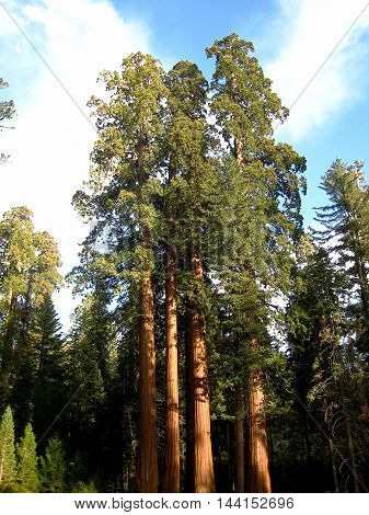 Sequoia trees at Sequoia National Park (California, USA)
