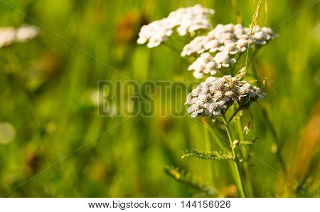 Horizontal photo of green summer meadow with white flower which consists of several small blooms. Grass is in background.