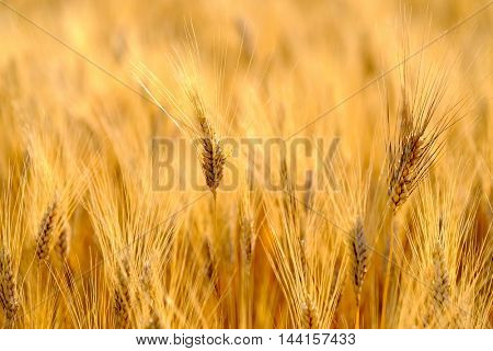 Mature wheat swaying in the wind in a field