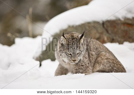 Lynx Sitting On Snow.