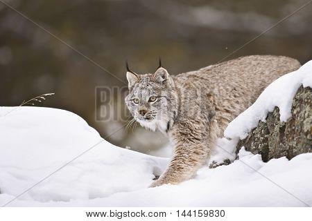 Lynx Is Wlaking.