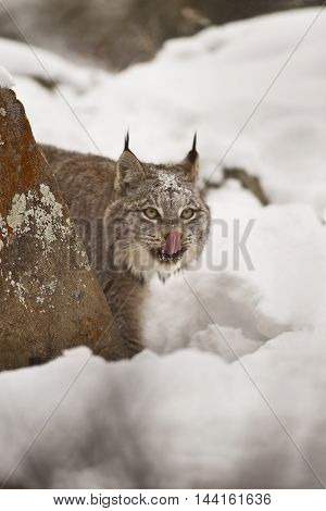 Lynx Is Licking.