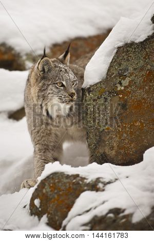 Lynx Is Awaiting For Hunt