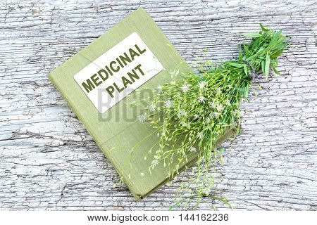 Medicinal plant Stellaria holostea (addersmeat or greater stitchwort) and herbalist handbook on old wooden table. In herbal medicine often used topically with caution for internal use toxic