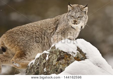 Lynx Playing On The Snow