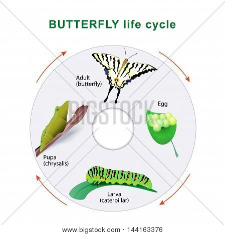Butterfly life cycle. From caterpillar to butterfly. Metamorphosis. Scarce Swallowtail