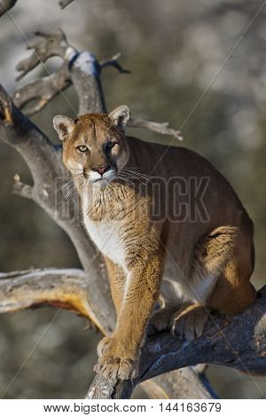 Mountain lion is standing on deadwood and looking with strongly expression. He has big paws. He is standing on deadwodd with the landscape of Rocky Mountains. Mountain lion is looking down.