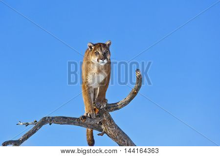Mountain Lion On Top Of Deadwood.