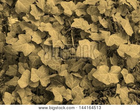 Ivy Leaves Sepia