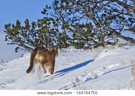 Mountain Lion Is Running On With Snow And Shrubbery Land.