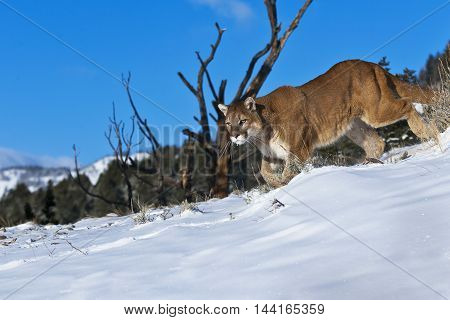 Mountain Lion Is Walking On With Snow And Shrubbery Land.