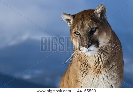 Close View Of Mountain Lion. The Mountain Lion Habitat.