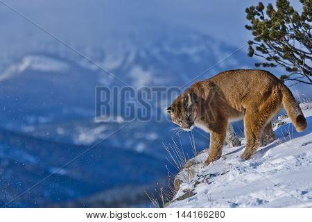 The Mountain Lion Habitat. Mountain Lion Hovering.