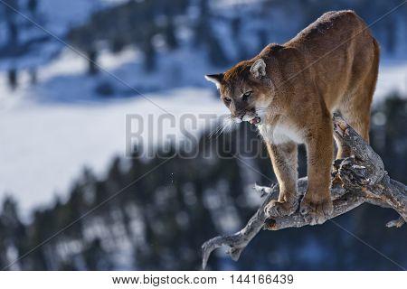 Close View Of Mountain Lion. The Mountain Lion Habitat.