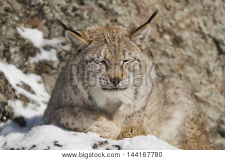 Portrait Of A Siberian Lynx
